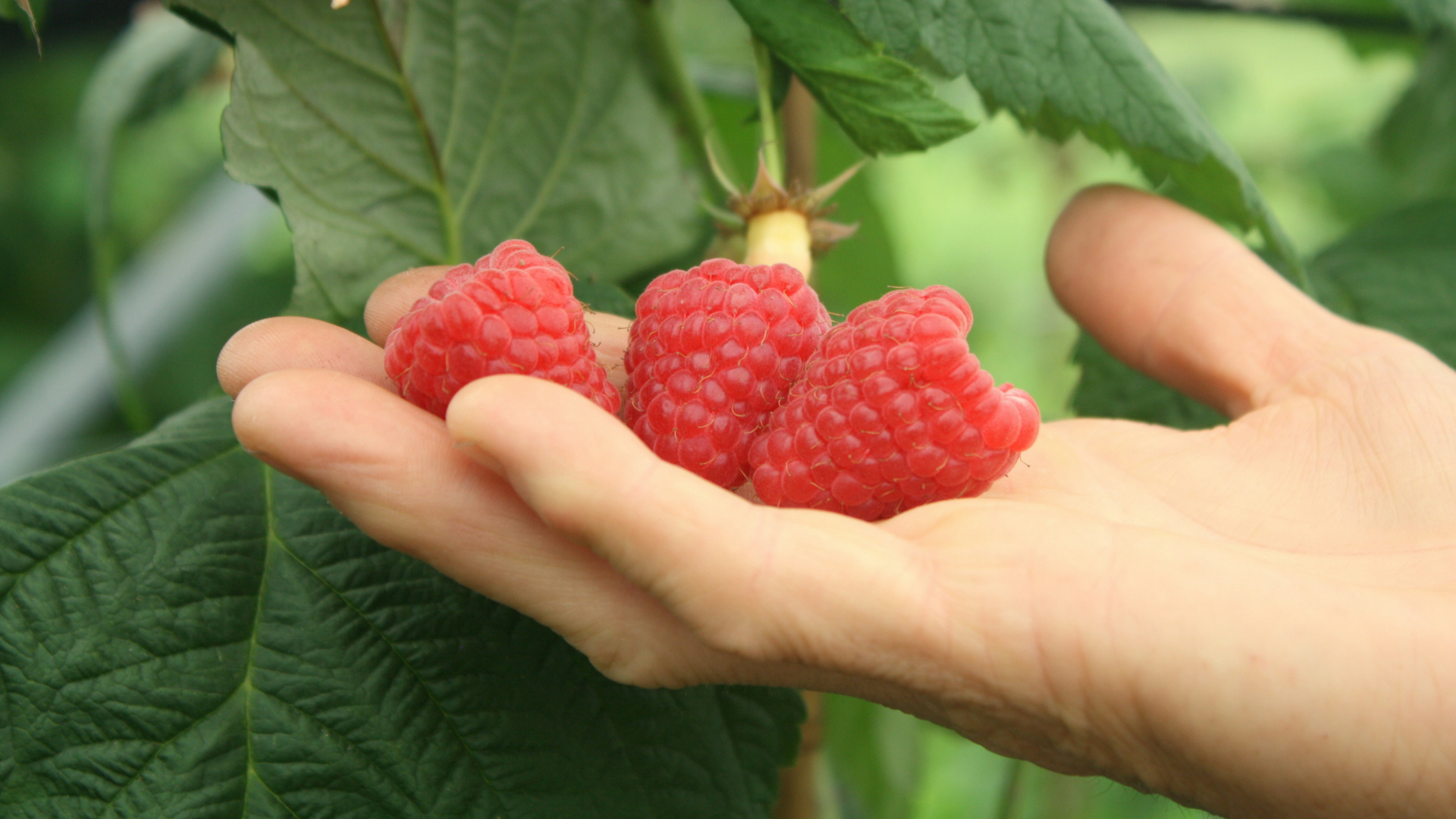 PRIMALBA, THE NEW VARIETY OF PRIMOCANE RASPBERRY BY BERRYPLANT